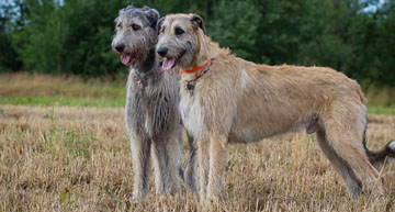 Native Irish Wolfhound